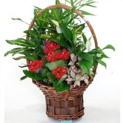 Cesta de plantas variadas, para interior (cesta de mimbre, según stock)