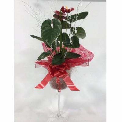 Plantas de Anturiun con copa de cristal