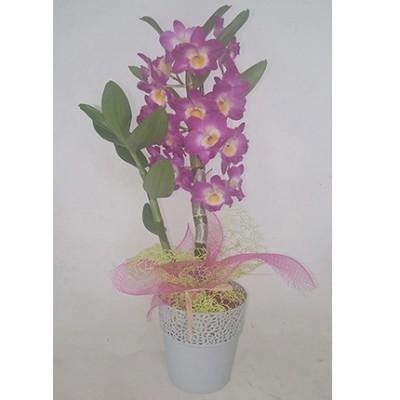 Orquídea dendrobium rosa + macetero