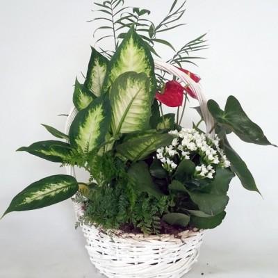 Centro de plantas variada, en cesta de mimbre