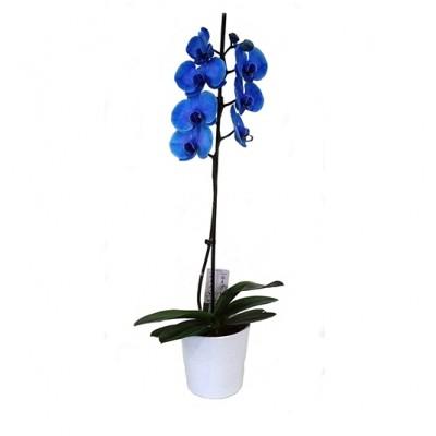 Planta de orquídea azul mas macetero
