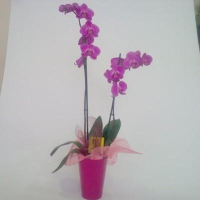 Planta de orquidea rosa fucsia mas macetero (especificar preferencia de color en observaciones)