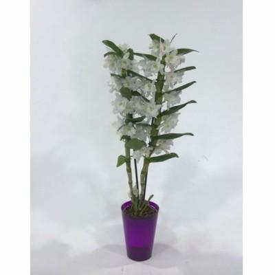 Plantas de Orquídea dendrobiun de dos varas