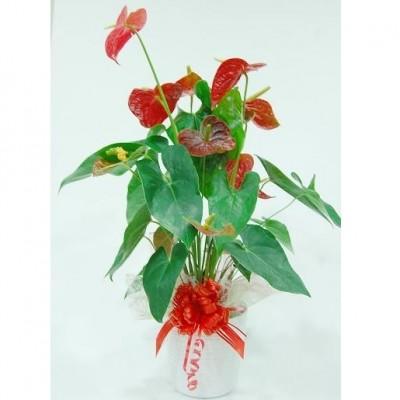 Anturium rojo en macetero de ceramica