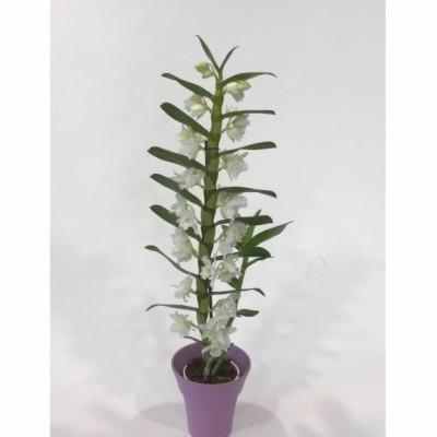 Plantas de Orquídea dendrobiun de una vara