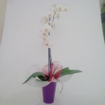 Planta de Orquidea blanca mas macetero