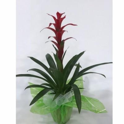 Plantas de Guzmania
