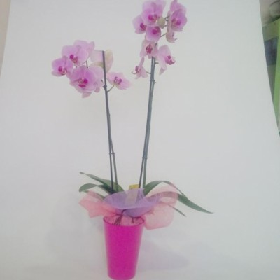 Orquidea rosa + macetero ( especificar preferencia de color)