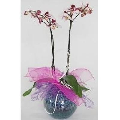 Orquidea en pecera de cristal, decorada, (solicitar preferencia de color en pedido)